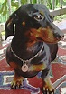 Dachshund - Simple English Wikipedia, the free encyclopedia