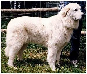 Colorado Great Pyrenees Rescue Community: What's That Big ...