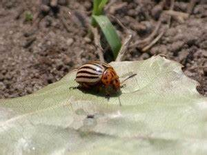 Schwarze Käfer Im Garten : blattk fer wir sind im garten ~ Lizthompson.info Haus und Dekorationen