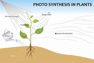Photosynthesis Process For Kids Simplified For Easy