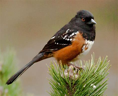rufous sided towhee interesting fact the rufous