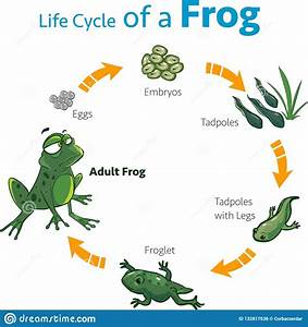 Vector Illustration Of A Life Cycle Of A Frog Stock Vector