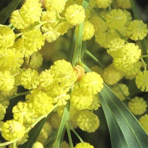 mimosa des 4 saisons acacia retinodes arbuste