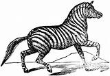 Zebra Coloring Pages Galloping Animals Clipartmag sketch template