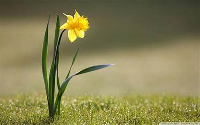 Daffodil Screensavers Summer Flower Spring Wallpapers Daffodils