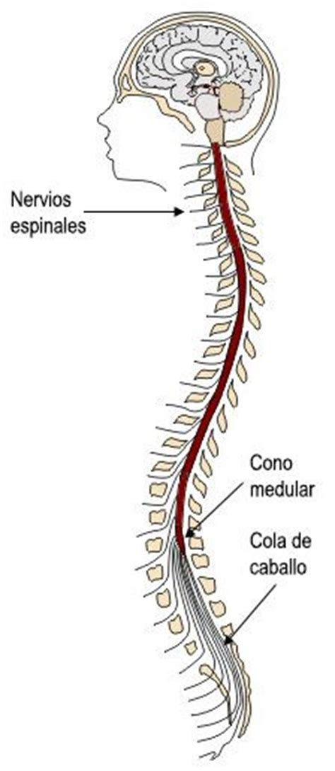 la medula espinal anatomia  fisiologia