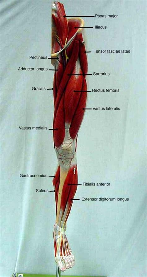 Start learning from the best resource! labeled muscles of lower leg - Yahoo Search Results | Human body anatomy, Body anatomy, Muscle ...