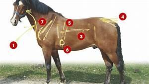 K, U00f6rperbau, Beim, Pferd, Richtig, Beurteilen