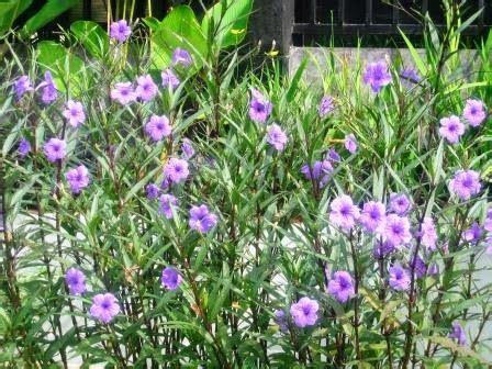 reulia tegak ungu tanaman hiaskolam minimalissaung