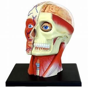 4d Vision Human Head Anatomy Model Brain System Study