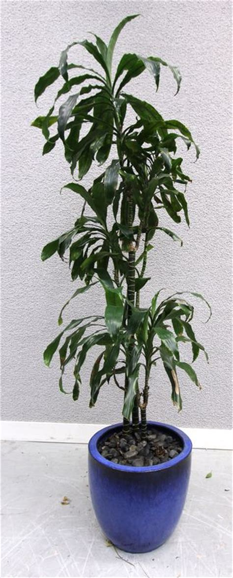 plante verte dinterieur cache pot de forme ronde en ceramique vernissee bleue 32 x 38 cm h environ