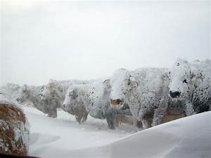 Baby, it's Cold Outside': Watch out for Livestock! : VT ...