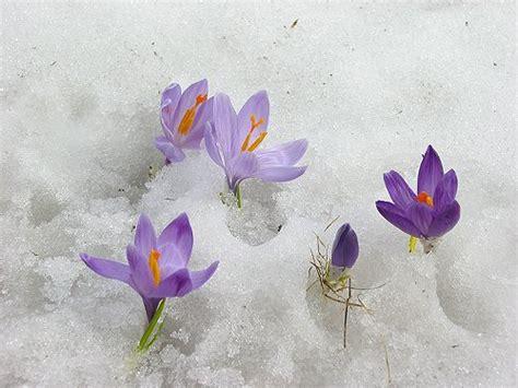 Fiori Di Neve by La Dame Des Roses Il Bucaneve