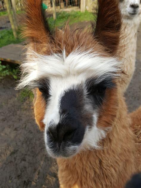 Hector | Watertown Llamas | Llamas for sale - Llama breeder