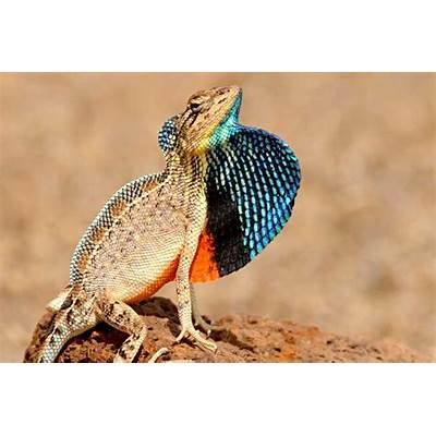 Five new species of fan-throated lizards discovered in