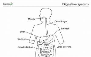 Labled Diagram Of The Digestive System