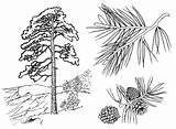 Pine Coloring Trees Pages sketch template