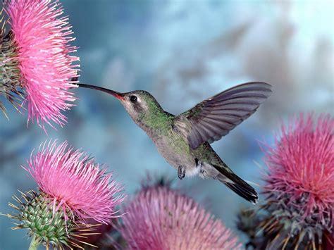 hummingbird flowers hummingbirds young gardener