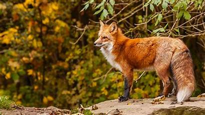 Fox Resolution 1080p