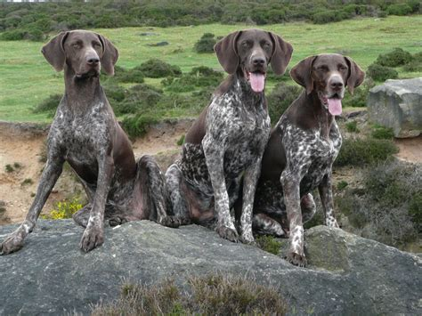 Stop German Shorthaired Pointer Shedding by German Shorthaired Pointer All Big Breeds