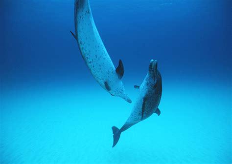dolphin wallpaper dolphin underwater wallpaper wallpapersafari Underwater