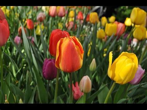 bulbi di tulipano in vaso come impiantare i bulbi di tulipano