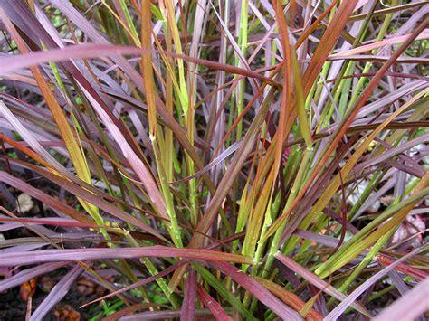 Rotes Ziergras Winterhart rotes ziergras winterhart pflanzen f 252 r nassen boden