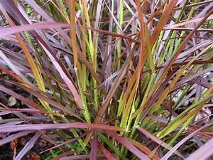 Gräser Winterhart Immergrün : rotes ziergras winterhart pflanzen f r nassen boden ~ Michelbontemps.com Haus und Dekorationen