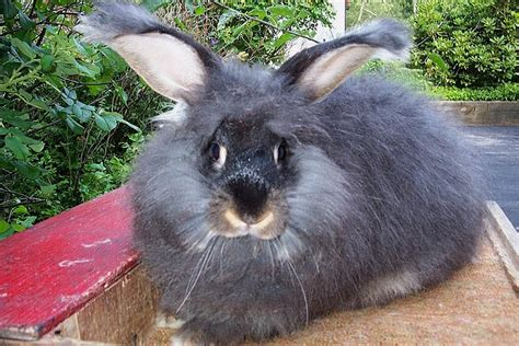 rabbit breeds giant angora rabbits usa rabbit breeders