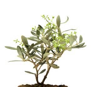 olivenbaum balkon olivenbaum pflanzen der große pflanzratgeber