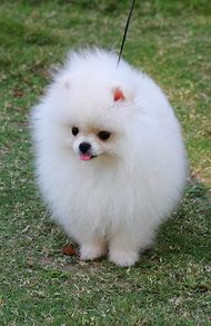 White Pomeranian Puppy Dogs