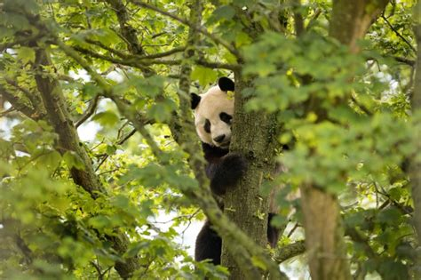 panda metro edinburgh zoo giant guang enclosure electrocuted exploring they pa vibrations ensure relocated nearby redevelop disturbed noise were building