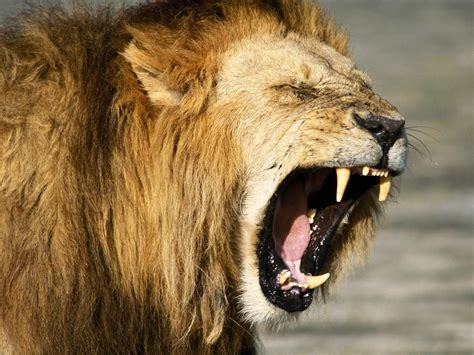 Hd Lion Pictures Lions Wallpapers Animal Photo