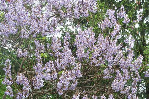 tree with lavender flowers two trees with heart shaped leaves but different flowers tbr news media