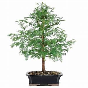 Dawn Redwood Bonsai Care