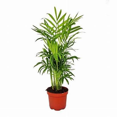 Chamaedorea Palm Elegans Neanthe Indoor Bella Pot
