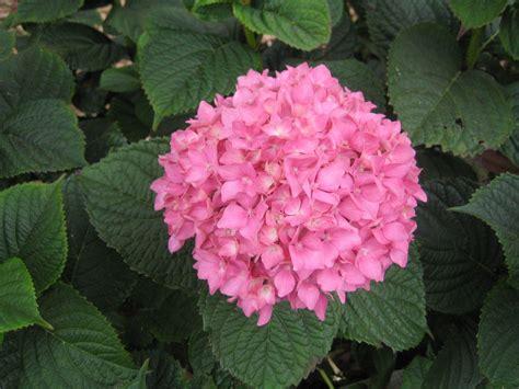 hydrangea size file hydrangea arborescens madeira jpg wikimedia commons