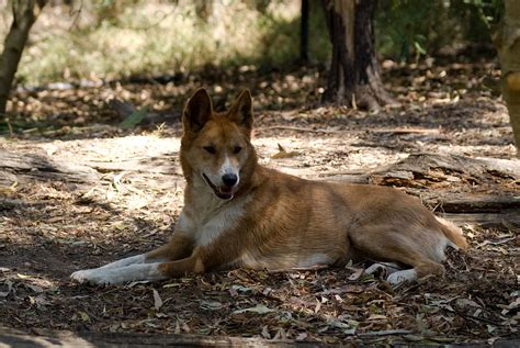 Dingo Dog Hybrid