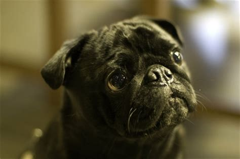 pugs  wallpaper high quality wallpapershigh definition wallpapers