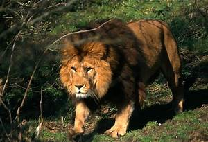 Moroccan lions in zoos today | Barbary Lion
