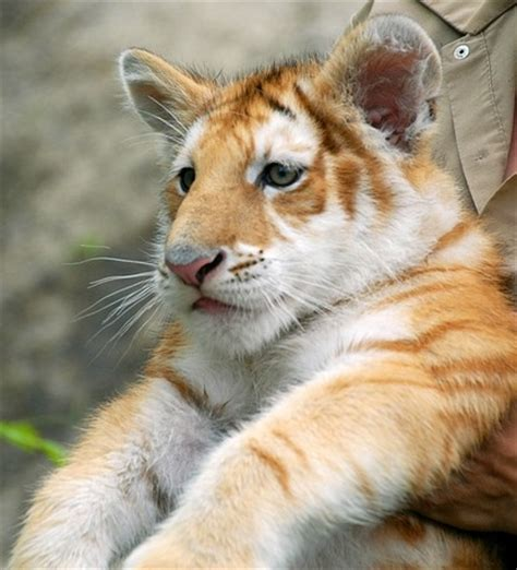 Golden Tiger Cub Pinterest Beautiful