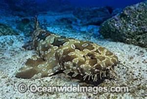 Spotted wobbegong shark | Exotics Fish | loricula flame ...