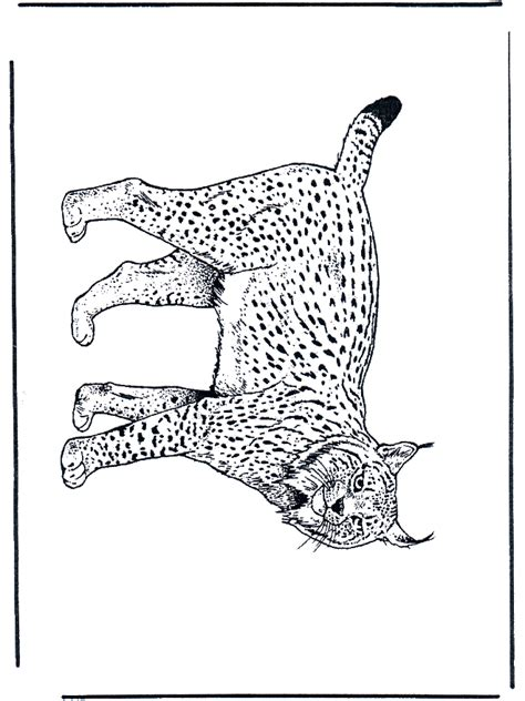 lynx cats