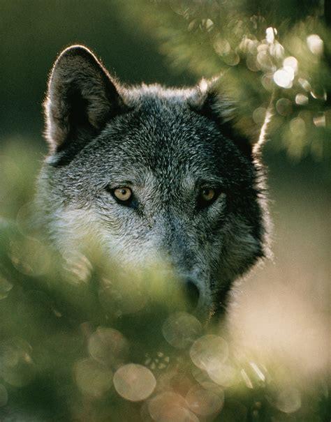 wolves identified  unique howls   rare species