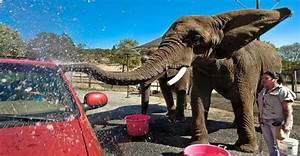 Elephants Are Tortured With Bullhooks To Wash Visitors U0026 39  Cars In Notorious Safari
