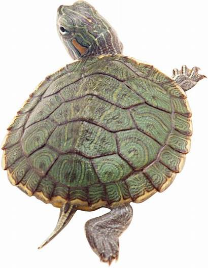 Turtle Clipart Transparent Pngimg Animals