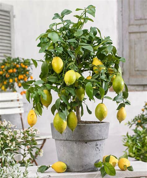 citronnier en pot toutes les 28 images citronnier en pot toutes les informations pour le