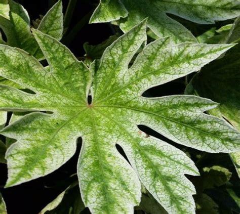 spider web fatsia japonica aralia houseplants