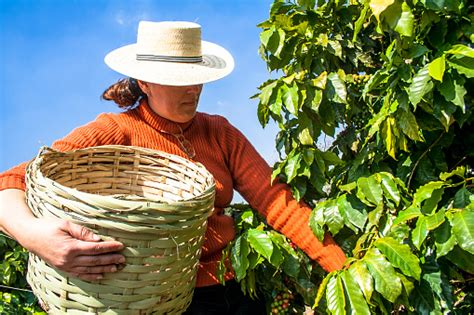 Download harvesting images and photos. Harvesting Coffee Stock Photo - Download Image Now - iStock