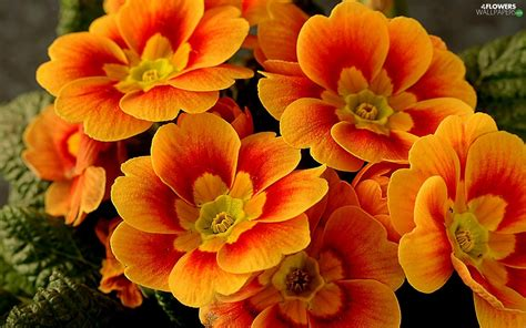 Orange Primrose Flowers Wallpapers 1680x1050